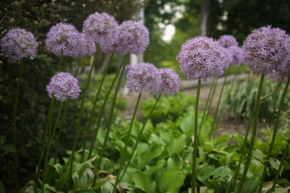 Purple Allium Ornamental Onion Flowers Blooming in a Spring Garden