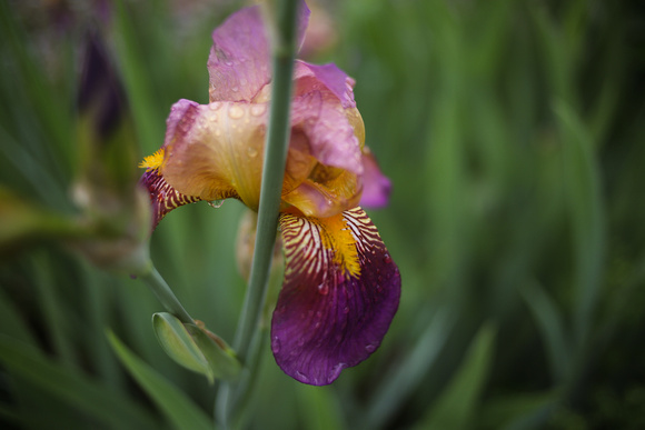 Purple and Yellow Bearded Iris Flowers Blooming in a Spring Garden
